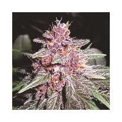 VIOLETA (1) 100% ACE SEEDS