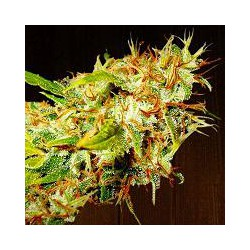 ZAMALDELICA (10) REGULAR ACE SEEDS