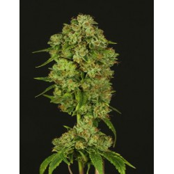 CASEY JONES (10) 100% DEVIL´S HARVEST SEEDS