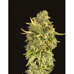 HELLS BELLS REG.(10) DEVIL´S HARVEST SEEDS