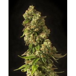 JOHN DOE REG.(10) DEVIL´S HARVEST SEEDS