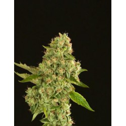 KUCHI REG.(10) DEVIL´S HARVEST SEEDS