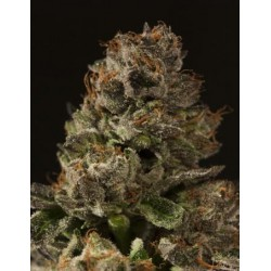 STRAWBERRY SOUR DIESEL (5) 100% DEVIL´S HARVEST SEEDS