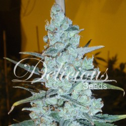 CRITICAL JACK HERER 100% (3)  DELICIOUS