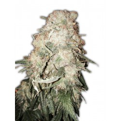 GOLD MINE (5) 100% HEAVYWEIGHT SEEDS
