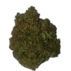 MONEY BUSH (3) 100% HEAVYWEIGHT SEEDS