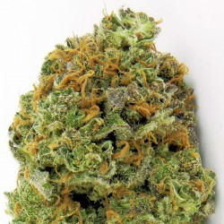 WIPEOUT EXPRESS AUTO (3) HEAVYWEIGHT SEEDS