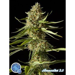AMNESIKA 2.0  (25) 100% PHILOSOPHER SEEDS