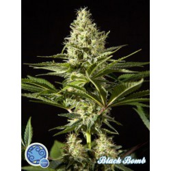 BLACKBOMB (25) 100% PHILOSOPHER SEEDS