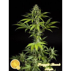 FRAGGLE SKUNK AUTO (3) 100% PHILOSOPHER SEEDS