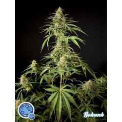 GOKUNK (3) 100% PHILOSOPHER SEEDS