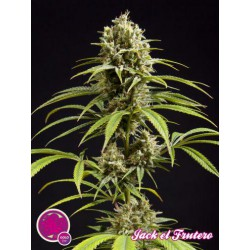 JACK EL FRUTERO (25) 100% PHILOSOPHER SEEDS