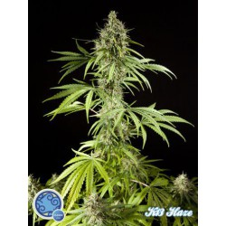K13HAZE (3) 100% PHILOSOPHER SEEDS