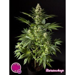 NARANCHUP (25) 100% PHILOSOPHER SEEDS