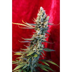 REVOLUTION (15) REG REGGAE SEEDS