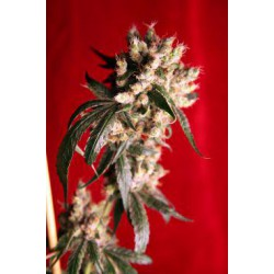 ROOTS (7) REG REGGAE SEEDS