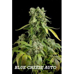 BLUE CHEESE AUTO (1) 100% DINAFEM
