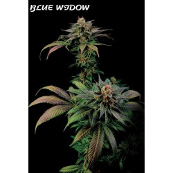 BLUE WIDOW (3) 100% DINAFEM