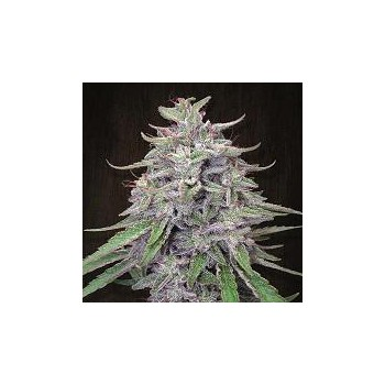 BANGI HAZE (5) 100% ACE SEEDS