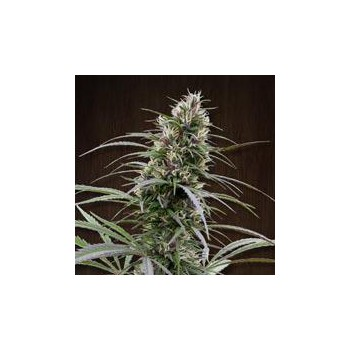 CONGO (10) REGULAR ACE SEEDS