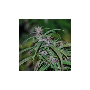 PURPLE HAZE (10) REGULAR ACE SEEDS