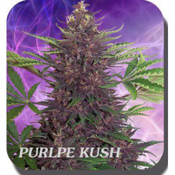 PURPLE KUSH BLISTER (10) AUTO 100% BUDDHA SEEDS BANK