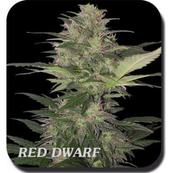 RED DWARF BLISTER (10) 100% BUDDHA SEEDS BANK