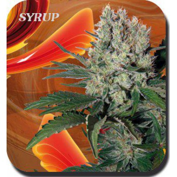 SYRUP BLISTER (10) 100% BUDDHA SEEDS BANK