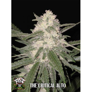THE CRITICAL AUTO (3) 100%  XTREME SEEDS